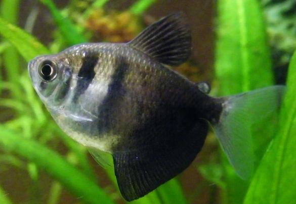 Ikan Hias Air Tawar Black Tetra