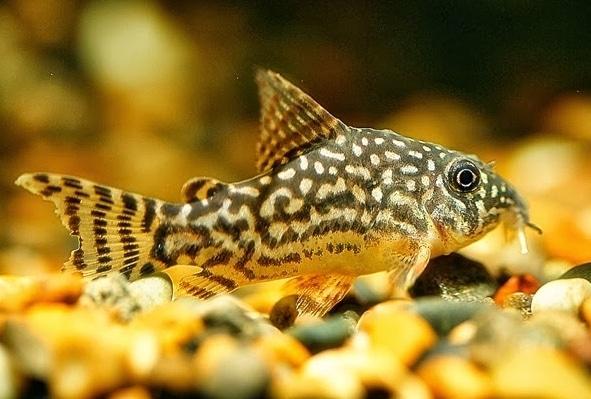 Ikan Hias Air Tawar Corydoras