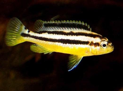 Ikan Hias Air Tawar Niasa