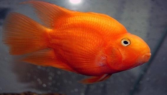 Ikan Hias Air Tawar Parrot
