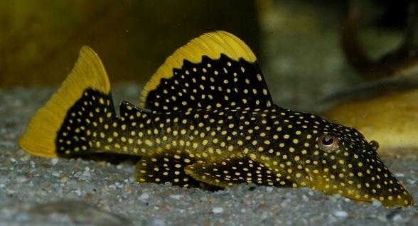Ikan Hias Air Tawar Sapu Sapu