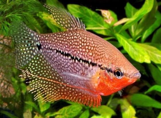 Ikan Hias Air Tawar Sepat Hias