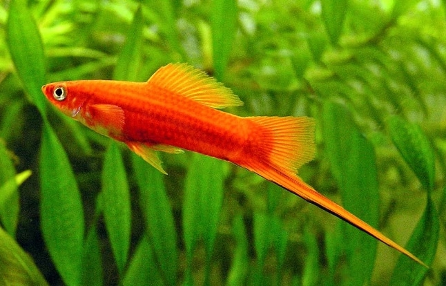 Ikan Hias Air Tawar Swordtail