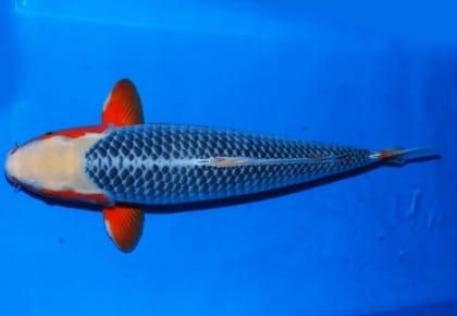 Ikan Koi Asagi