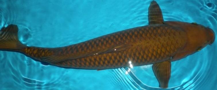Ikan Koi Chagoi
