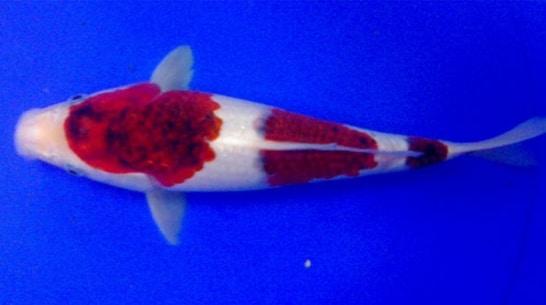 Ikan Koi Goromo
