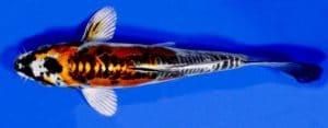Ikan Koi Kin Kikokuryu