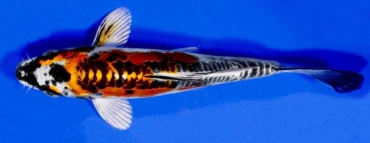 Penjelasan Tentang Ikan Koi dan Jenis-Jenisnya – Flora dan ...