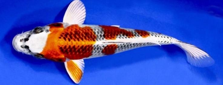 Ikan Koi Kujaku