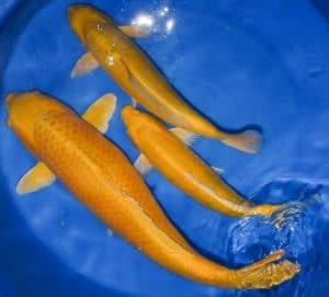 Ikan Koi Ogon Yamabuki