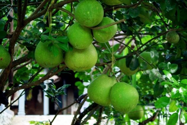 Jeruk bali di pohon