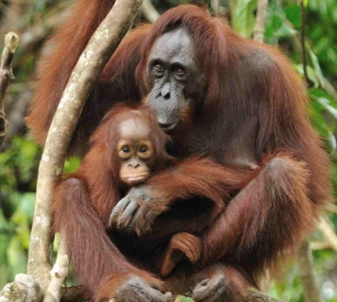 Orangutan Kalimantan (Pongo pygmaeus)