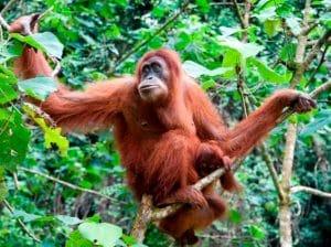 Orangutan Sumatra (Pongo abelii)