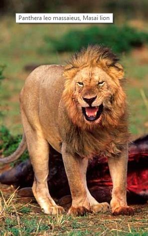 Panthera leo massaieus