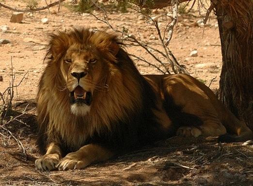 Panthera leo melanochaita (cape lion)