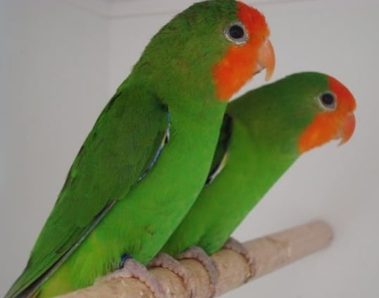 Red-faced Lovebird