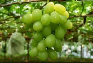 Rosario Bianco Grape