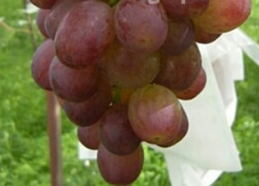 Sekirei Grape