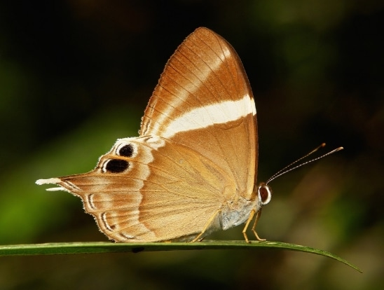 Tailed Judy,Abisara neophron.