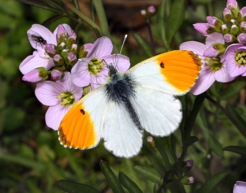 The Orange Tip,Anthocharis cardamines
