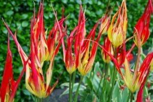 Tulipa acuminata