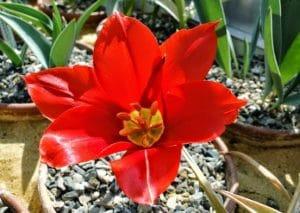 Tulipa carinata