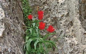 Tulipa lanata
