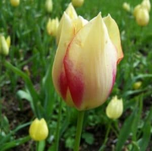 Tulipa marjolettii