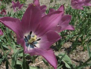 Tulipa platystigma