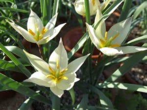 Tulipa primulina