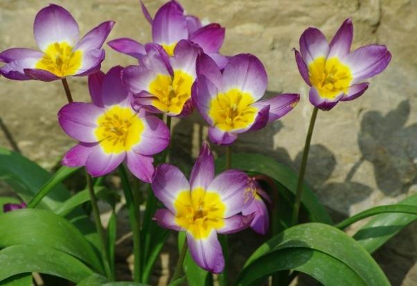 Tulipa saxatilis