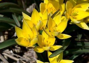 Tulipa tetraphylla