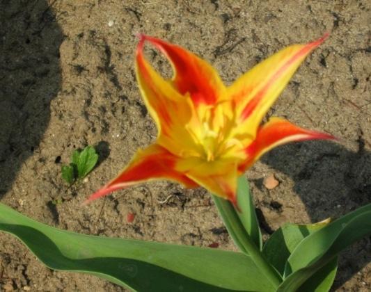 Tulipa tschimganica