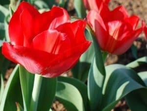 Tulipa tubergeniana