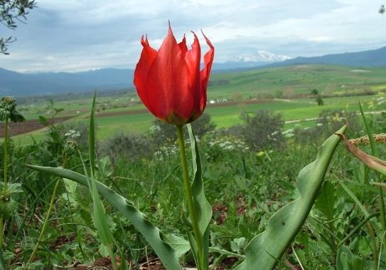 Tulipa undulatifolia