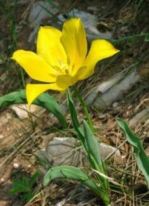 Tulipa urumoffii