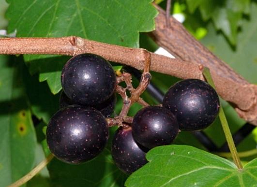 Vitis rotundifolia, muscadine