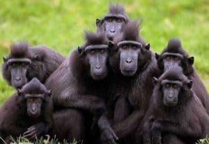 Yaki atau Monyet wolai atau Monyet hitam sulawesi (Macaca nigra)