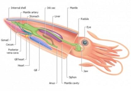 anatomi cephalopoda