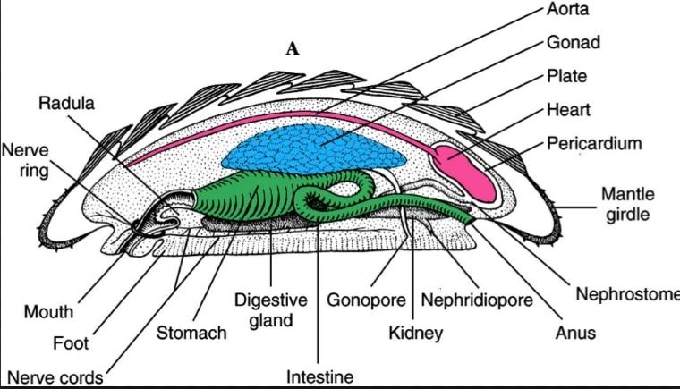 anatomi chiton