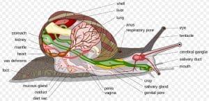 anatomi mollusca