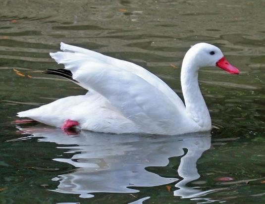 angsa coscoroba swan (Coscoroba coscoroba)