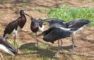 bangau Abdim's Stork (Ciconia abdimii)
