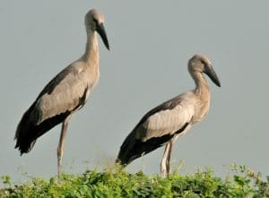 bangau Asian Openbill Stork (Anastomus oscitans)