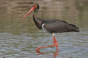 bangau Black Stork (Ciconia nigra)