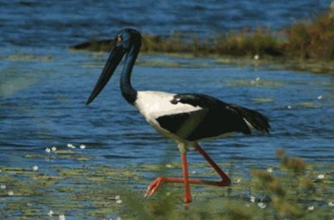 bangau Black-necked Stork (Ephippiorhynchus asiaticus)