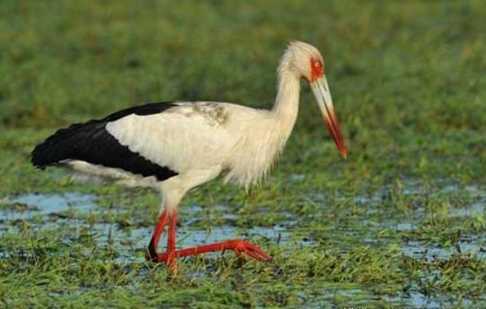bangau Maguari Stork (Ciconia maguari)