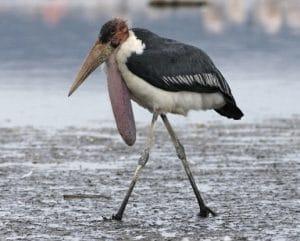 bangau Marabou Stork (Leptoptilos crumeniferus)