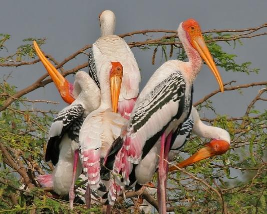 bangau Painted Stork ( Mycteria leucocephala)
