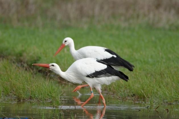 bangau White Stork (Ciconia ciconia)